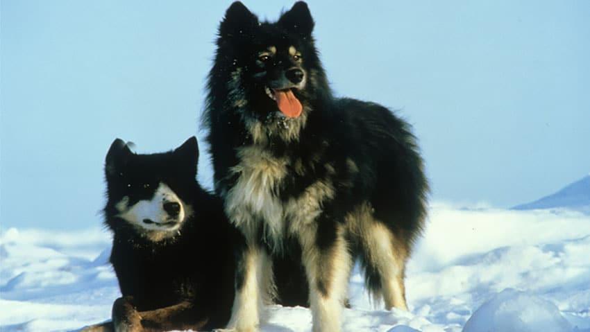 Husky de Sakhaline - Races de chiens japonais
