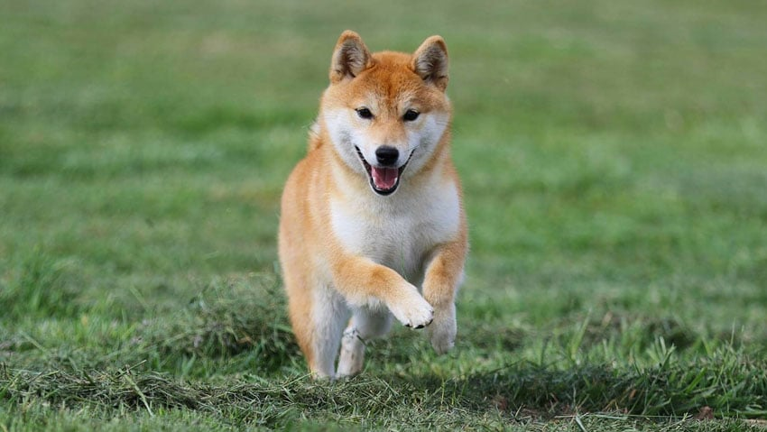 Race Shiba Inu