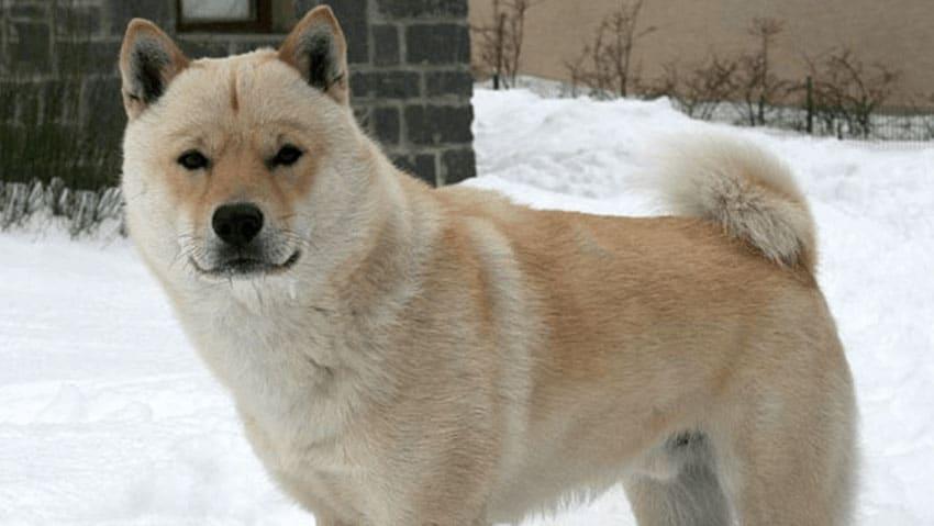 races de chiens japonais - Hokkaido Inu