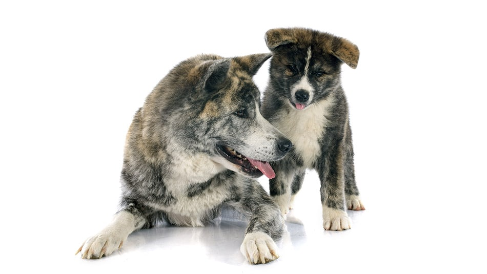 Top 10 des races de chiens japonais