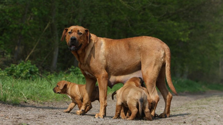 Tosa Inu - Races de chiens japonais