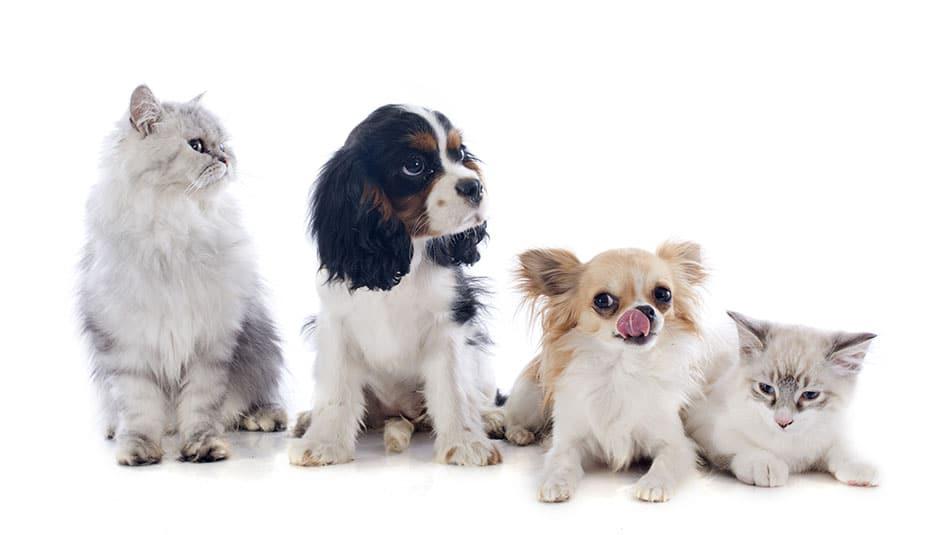 Comment calculer l'âge d'un chien ou d'un chat en âge humain ?