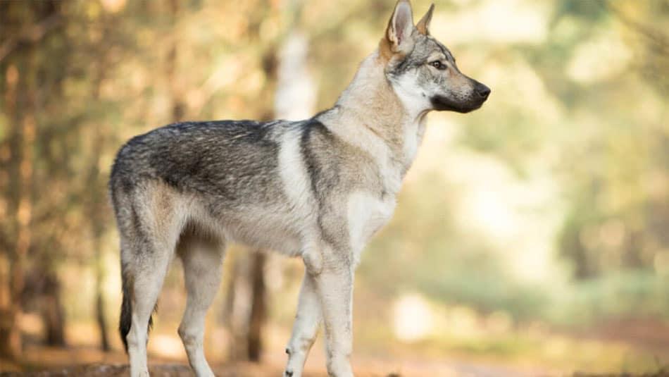 chiens dangereux, Chien loup tchécoslovaque