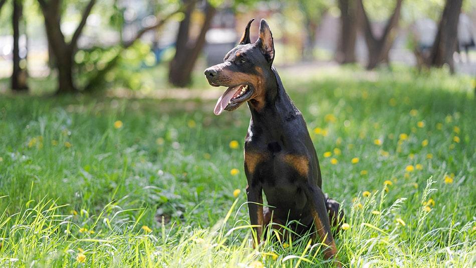 races de chiens dangereux - dobermann