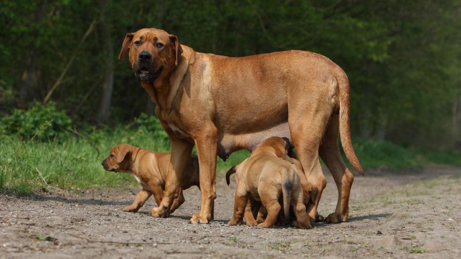 Tosa-Inu, races de chiens dangereux