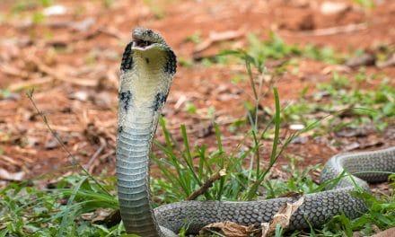 Top 5 des serpents les plus venimeux au monde